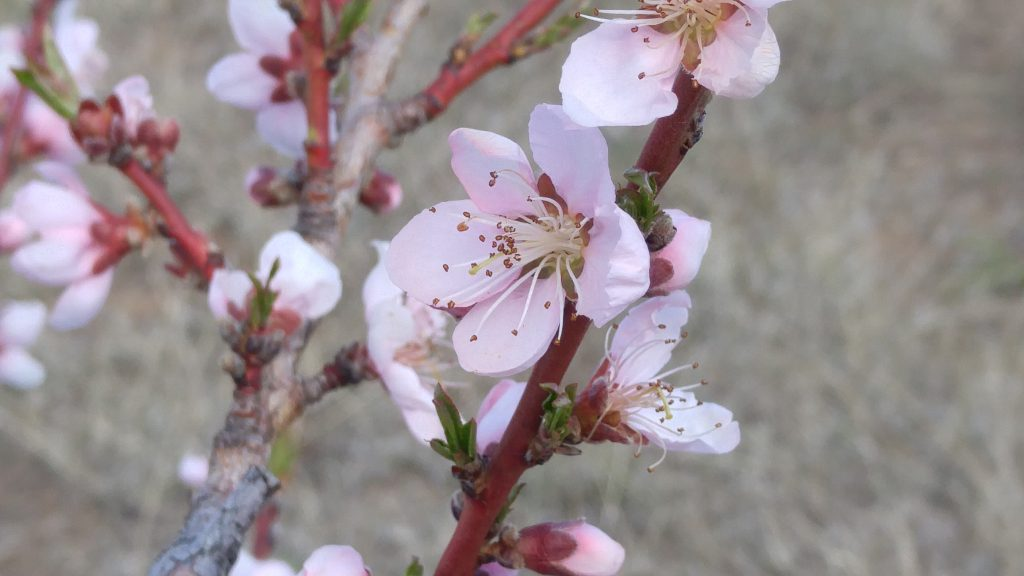 "Eli N age 7 ""Peach Blossom"""